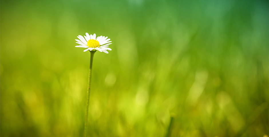 Small daisy in blurred field of grass